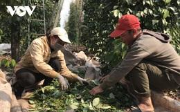 Tiêu chín đỏ vườn mà không kịp thu hoạch do thiếu nhân công
