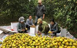 Chính quyền vào cuộc giải cứu 2.000 tấn cam Phủ Quỳ giá 5.000 đồng/kg