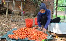 """Mùa nhót chín đỏ ở Hà Nội: Nông dân """"ngại"""" ra vườn, thương lái buồn chán vì hàng không bán được"""