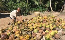 Giá dừa khô Trà Vinh tăng cao