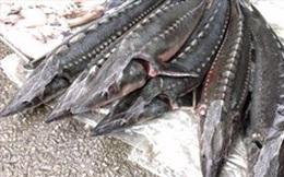 Hải quan giám sát xử lý các lô hàng cá tầm nhập khẩu