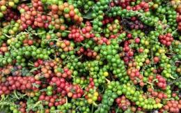 Diện tích trồng tiêu Campuchia năm nay sẽ tăng do giá cao