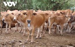 Lào đẩy mạnh xuất khẩu gia súc lớn và cơ hội cho doanh nghiệp Việt