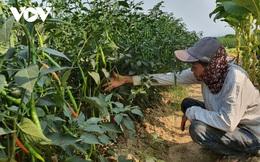 Ớt trĩu quả không ai mua, nông dân Quảng Nam lao đao