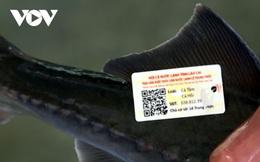 Cá nước lạnh Lào Cai được gắn tem truy xuất nguồn gốc