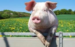 Ông trùm nông nghiệp Việt Nam lãi đột biến gần 1 tỷ USD nhờ thịt lợn, ngang ngửa Honda, Samsung với tỷ suất lợi nhuận vượt trội