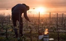 Nông dân Pháp đốt lửa sưởi ấm cây nho với hy vọng cứu ngành công nghiệp rượu vang lớn nhất thế giới