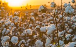 Ngô, bông, lúa mì tăng giá 50% trong năm qua, người dùng đã bắt đầu thấy hậu quả