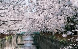 Siêu ngây ngất cảnh tượng toàn thủ đô Tokyo bao trùm dưới hàng trăm nghìn cây hoa anh đào bởi hiện tượng nở sớm nhất trong 1.200 năm