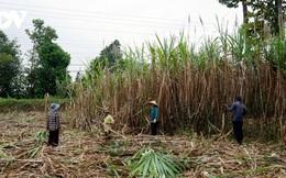 Giá tăng cao không làm vui người trồng mía ở Trà Vinh