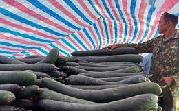 Hàng trăm tấn bí xanh nằm ruộng, nông dân 'đỏ mắt' chờ thương lái