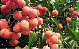 Nhật Bản ủy quyền Việt Nam giám sát vải thiều xuất khẩu