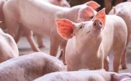 Khó khăn bủa vây ngành chăn nuôi lợn toàn cầu