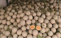 Giá dưa lưới giảm một nửa khó tiêu thụ, nông dân Bình Dương cầu cứu