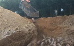 Tiêu hủy gần 1.000 con lợn nhập khẩu bị nhiễm dịch tả lợn châu Phi