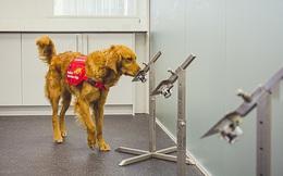 'Biệt đội chó săn' Covid-19: Kết quả đáng kinh ngạc, phát hiện virus nhanh hơn test nhanh