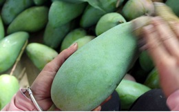 Sơn La xuất khẩu 60 tấn xoài sang thị trường Trung Quốc