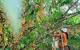 Mùa dâu da chi chít từ gốc đến ngọn, nông dân thu tiền triệu mỗi vụ