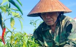 Nông dân Hà Tĩnh rớt nước mắt vì…ớt