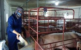 Giá lợn hơi giảm trong 'bão giá' thức ăn chăn nuôi