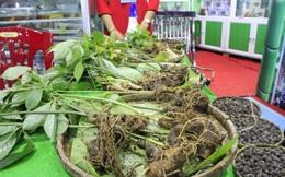 Quảng Nam đề xuất phát triển ngành công nghiệp sản xuất sâm Ngọc Linh