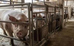 Trung Quốc đối mặt khủng hoảng thừa thịt lợn, giá giảm một nửa trong 6 tháng