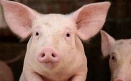 """Công ty nuôi lợn đặt kế hoạch lãi """"đi lùi""""đến hơn 60% trong năm 2021"""