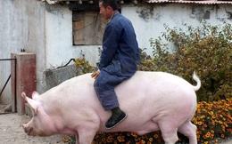 Lợn khổng lồ to bằng cả 1 con hà mã khiến giá thịt heo ở Trung Quốc lao dốc không phanh