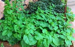 Khu vườn trước cửa xanh mát với đủ loại rau củ của chàng trai Việt ở châu Phi