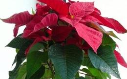 Đừng dại mà trồng những loại cây này trong nhà: Vừa không hợp phong thuỷ, vừa có nguy cơ bị điếc hoặc bị ngộ độc dẫn đến tử vong