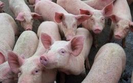Kịch tính như khủng hoảng thịt lợn ở Trung Quốc