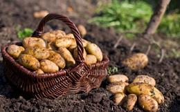 Ngoài khoai tây mọc mầm còn có loại khoai tây khác bạn không được ăn, nếu chủ quan thì tử vong không biết chừng!