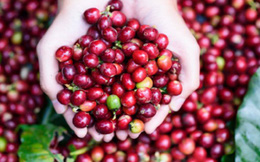 Giá cà phê xuất khẩu dự báo sẽ tiếp tục đà tăng, ngành cà phê trong nước có được hưởng lợi?