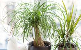 """6 loại cây """"hoan hỉ"""" hợp trồng trong nhà, không cần ánh sáng trời lại mang tài lộc cho gia chủ"""