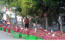 Bình Thuận tìm đầu ra cho trái thanh long