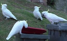 Một con vẹt ở Sydney mở lớp huấn luyện cạy thùng rác cho những con vẹt khác, chúng đích thị là đang tiến hóa