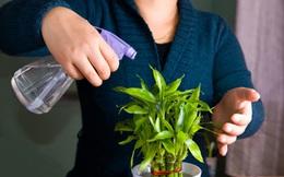 Cách chăm sóc cây phát lộc tốt tươi mang may mắn vào nhà của bạn