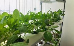 Cách làm vườn rau trong căn hộ chung cư mùa dịch
