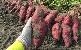 27.000 tấn khoai lang tím ở Vĩnh Long cần hỗ trợ tiêu thụ