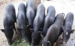 Giá lợn hơi giảm nhưng đặc sản lợn đen giá cao cũng không có để mua, tôm hùm lại rớt giá mạnh