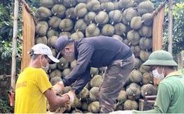 Sầu riêng Dona rớt giá, nông dân Đắk Lắk buồn thiu