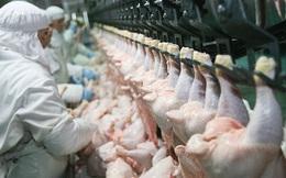 """Báo cáo gây sốc: 99% số gà siêu thị mắc căn bệnh này, dấy lên tranh cãi về cách chăn nuôi """"siêu tốc"""" ở Mỹ"""