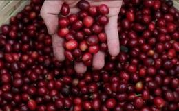 Nguy cơ khan hiếm cà phê trên toàn cầu