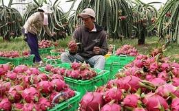 Trung Quốc nhập khẩu trở lại thanh long và chuối của Việt Nam