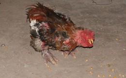 Đại gia chi chục triệu mua gà Đông Cảo ăn Tết