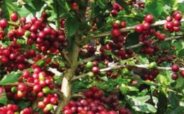 Bộ trưởng Cao Đức Phát: Đã trình Thủ tướng đề xuất tiến hành cơ chế cho tạm trữ cà phê