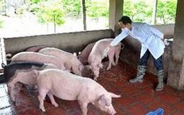 Dịch tai xanh ở đàn lợn diễn biến phức tạp
