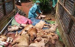 Khẩn cứu ngành chăn nuôi