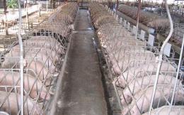 Cơ cấu lại để vực dậy ngành chăn nuôi