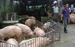 Giá 1kg lợn hơi chỉ bằng ... bát phở